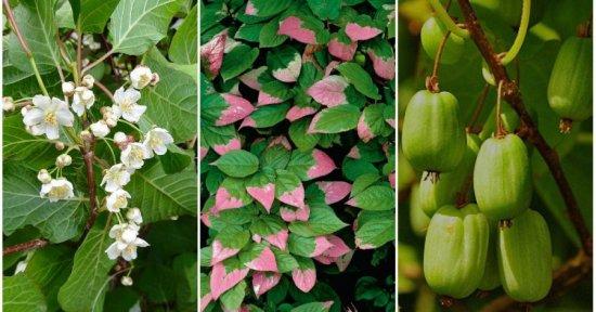Цветы, листья и плоды актинидии