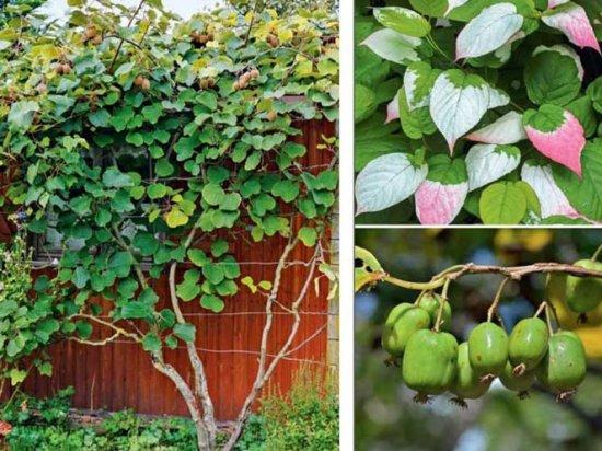 Куст, листья и плоды актинидии