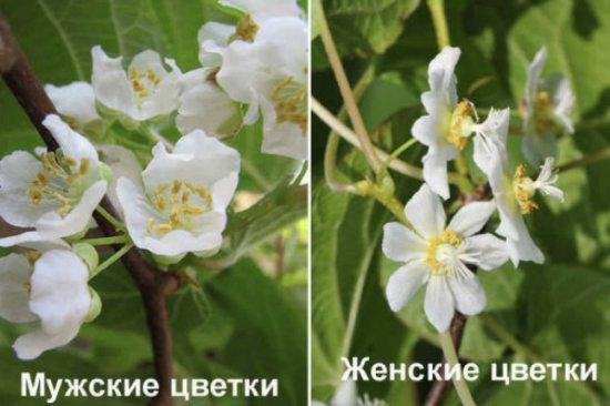 Жеское и мужское растение