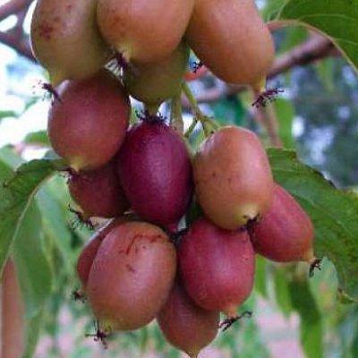Плоды коломикты