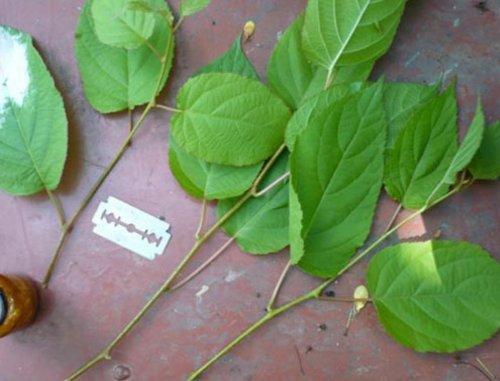Зеленые черенки коломикты