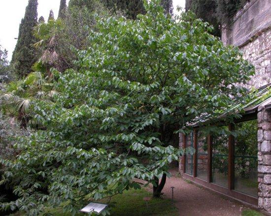 Дерево Азимина