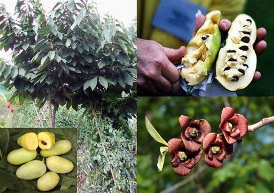 Цветы и плоды азимины