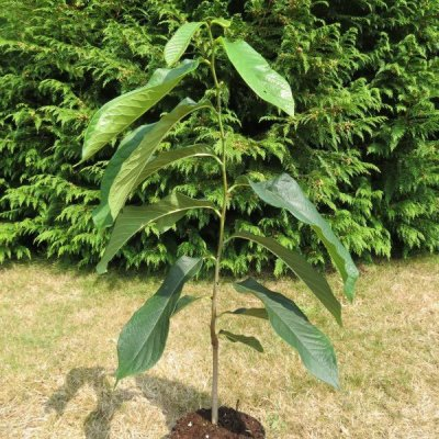 Молодое дерево азимины