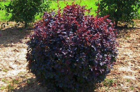 Пурпурный Антропурпурея, или краснолистный