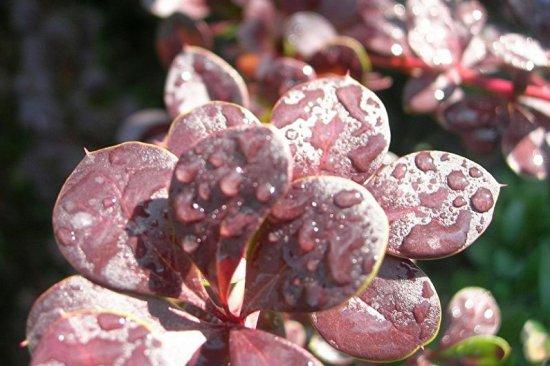Листья барбариса в капельках воды