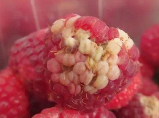 Ягоды малины с белыми пятнами