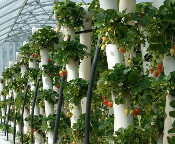 Выращивание клубники в вертикальных трубах