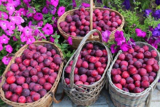 Плоды алычи кубанской