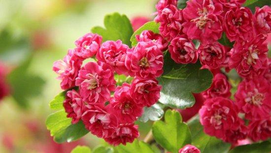 Цветение Pauls Scarlet