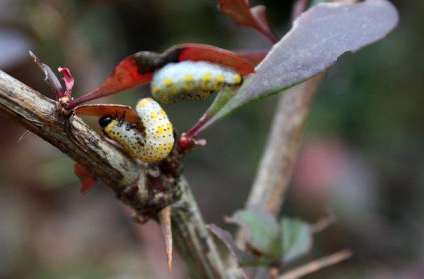 Гусеница на листьях