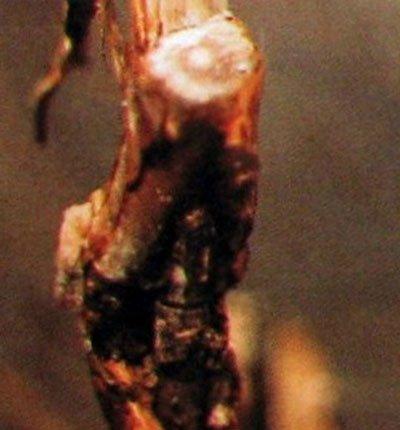 Рак на ветвях жимолости