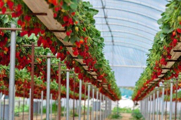 Выращивание клубники на стеллажах