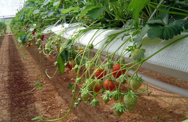 Метод гидропоники при выращивании клубники