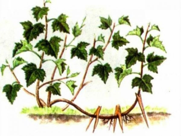 Размножение ешты корневыми отростками