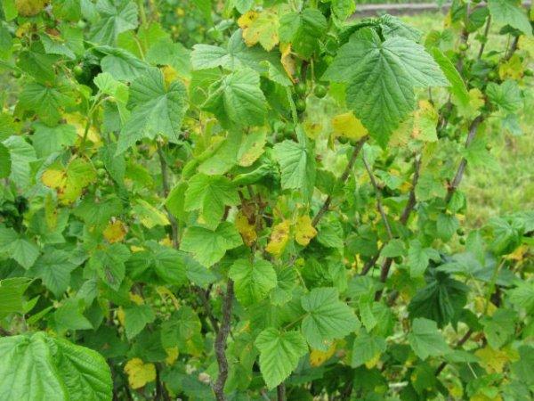 Желтые листья на смородины