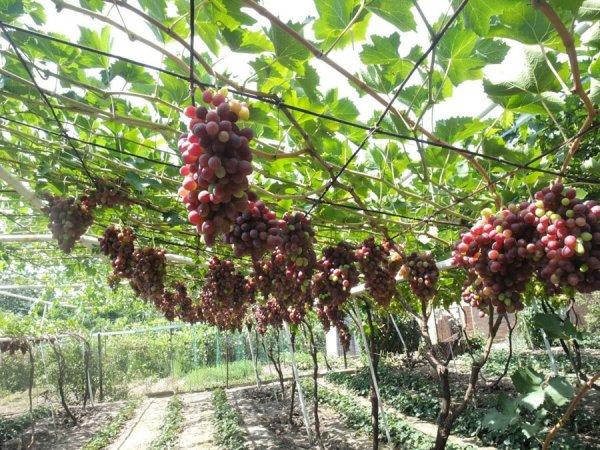Кусты винограда Красотка