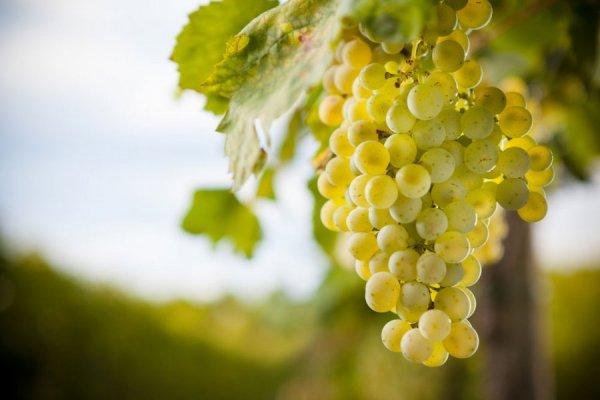 Плоды винограда Кристалл