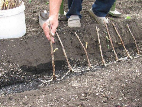 Подготовка саженцев винограда к посадке