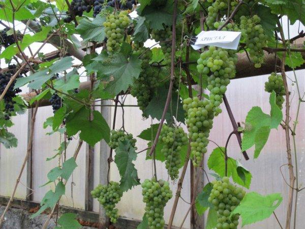 Выращиание винограда Кристалл