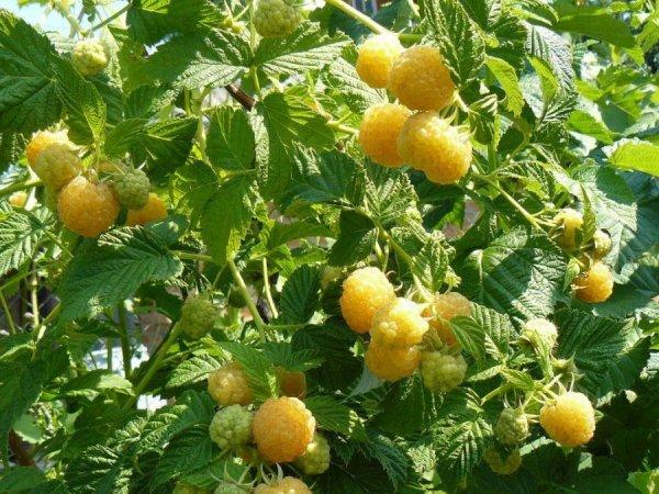 Куст желтой малины