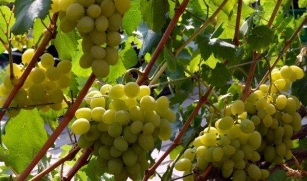 Винограда Галахад