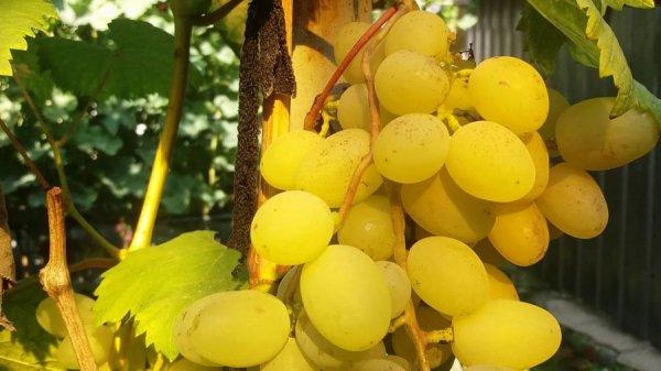Ягоды винограда Галахад