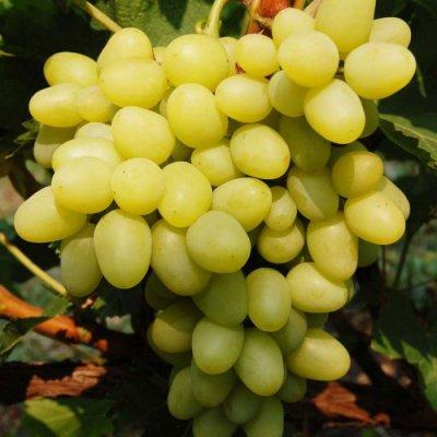 Плоды винограда Гарольд