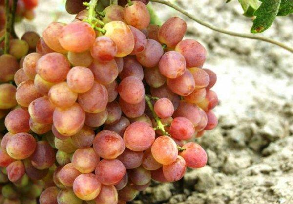 Виноград Кеша красный