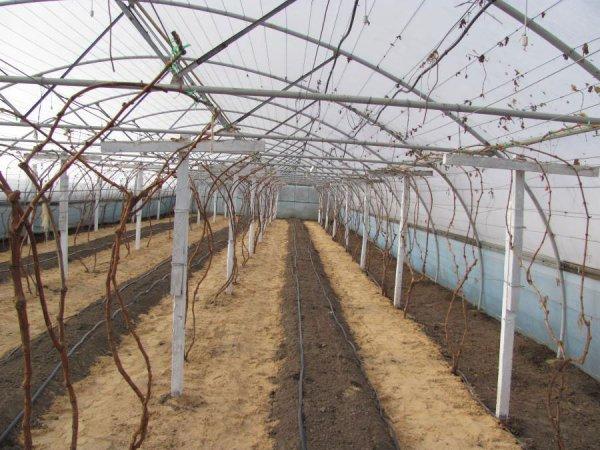 Виноград в тепличных условиях