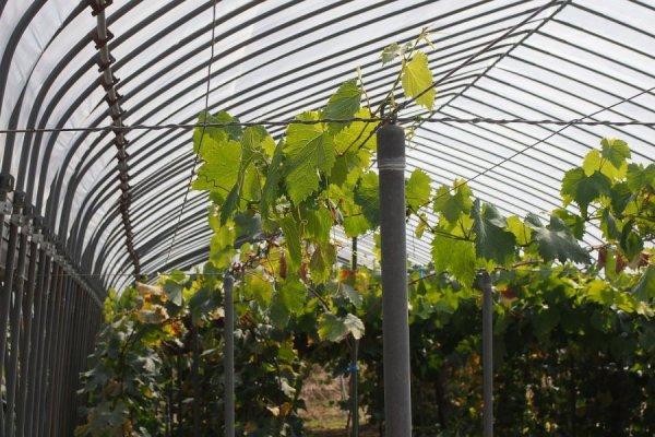 Виноградные кусты в теплице