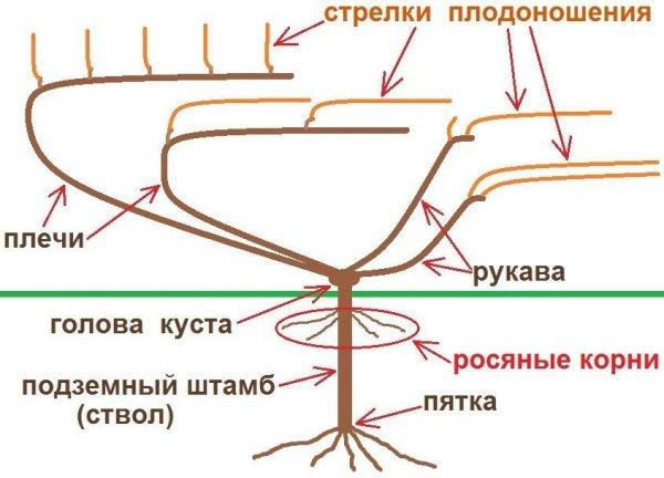 Схема виноградного куста