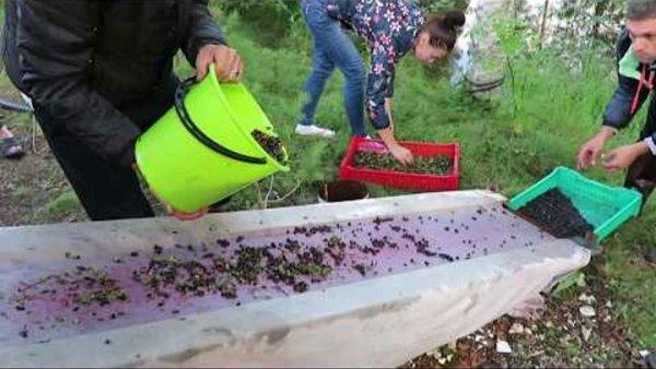 Очистка ягод через деревянный желоб