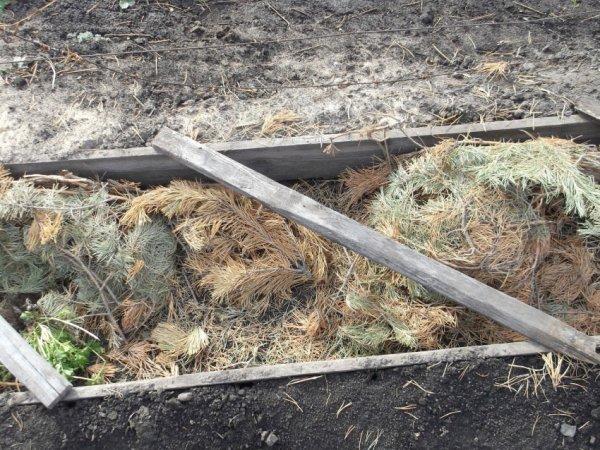 Лапник для укрывания садовых растений