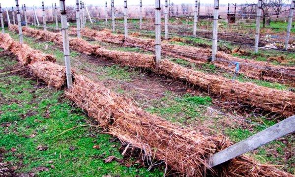 Виноград под укрытием из соломы