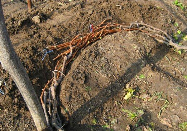 Окучивание винограда на зиму