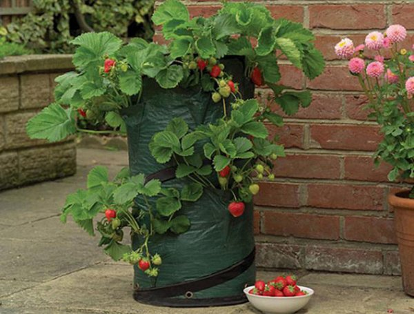 Вертикальное выращивание клубники