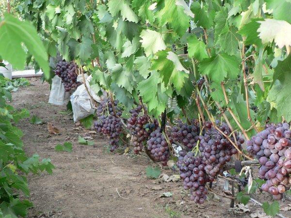 Кусты винограда Низина