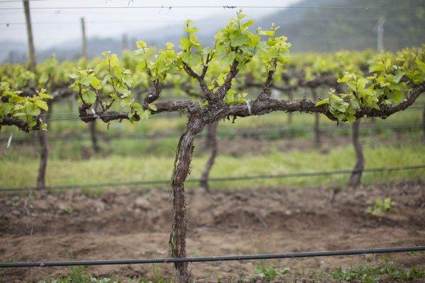 Выраживание винограда