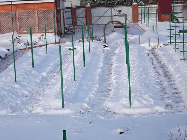 Виноград зимой под снегом