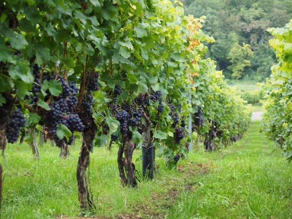 Кусты винограда Рошфор
