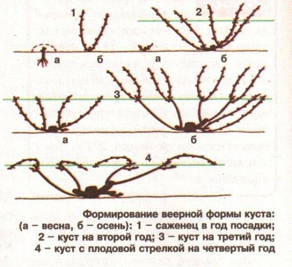 Формирование веерной формы куста