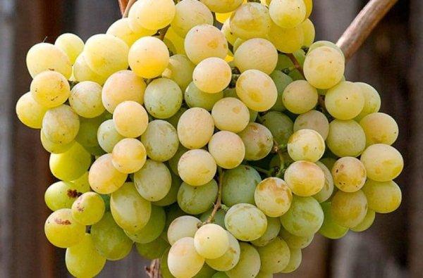 Ягоды винограда Талисман