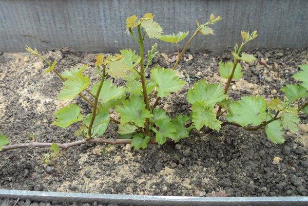 Виноградные кусты во дворе