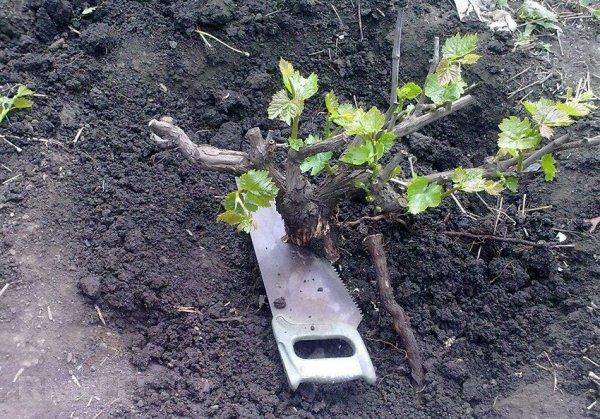Прививание винограда