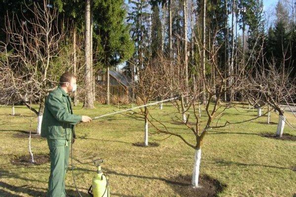 Профилактические опрыскивания вишни