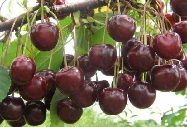 Ягоды вишни Шпанки