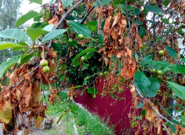 Монилиальный ожог вишни
