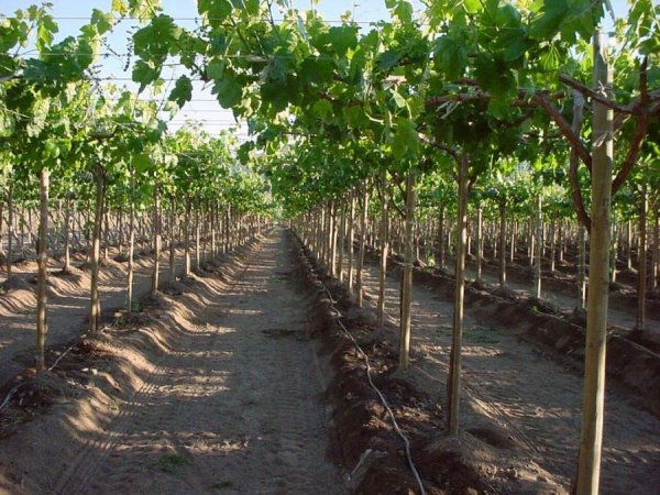 Кусты винограда