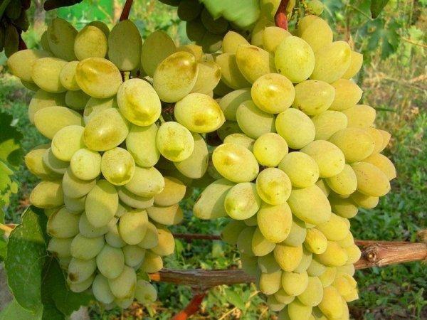 Ягоды винограда Тимур